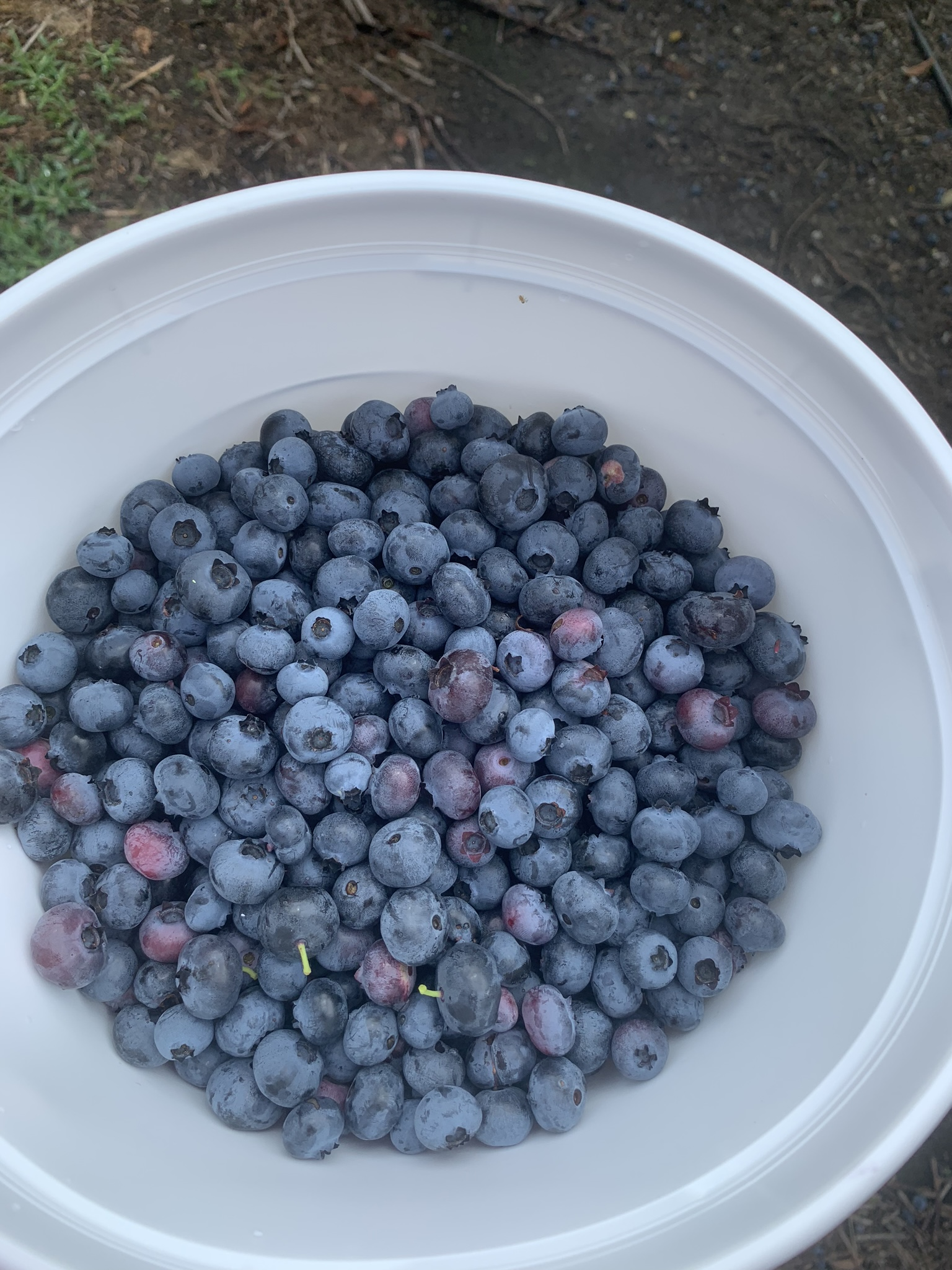 Blueberries in a bucket. Each bucket holds about 4 to 5 pounds.